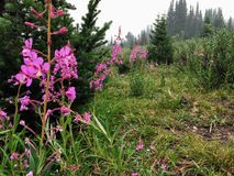 美丽的紫色野草高在加拿大罗基斯在remo 图库摄影