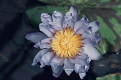 美丽的紫色黄色百合在水中 免版税库存图片