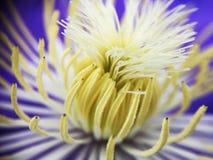 美丽的紫色黄色莲花开花 免版税图库摄影