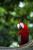 美丽的红和绿的金刚鹦鹉鹦鹉 库存照片