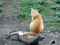 美丽的红头发人猫在绿草和树桩木头旁边坐 免版税库存图片