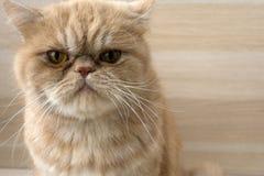 美丽的红头发人猫异乎寻常的品种 库存图片