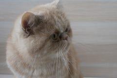 美丽的红头发人猫异乎寻常的品种 免版税库存图片
