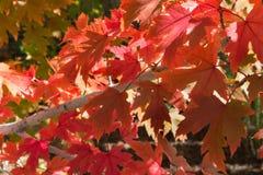 美丽的红槭离开与秋天颜色在显示 免版税库存图片