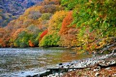 美丽的红槭Momiji叶子在日光 库存图片