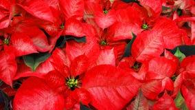 美丽的红色一品红花 库存图片