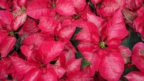 美丽的红色一品红花 免版税库存图片