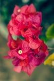 美丽的红色九重葛 库存照片