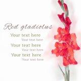 美丽的红色剑兰花 免版税库存图片
