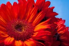 美丽的红色向日葵 库存图片