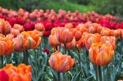 美丽的红色和橙色郁金香在庭院里 库存照片