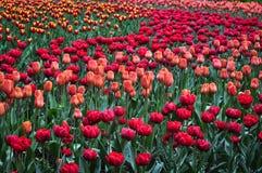 美丽的红色和橙色郁金香在绿色庭院里 库存图片