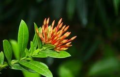 美丽的红色和黄色花在罗阿坦岛,洪都拉斯 免版税库存图片