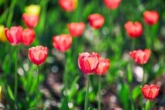 美丽的红色和黄色花郁金香由阳光点燃了 软的选择聚焦 关闭 库存照片