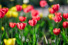 美丽的红色和黄色花郁金香由阳光点燃了 软的选择聚焦 关闭 免版税库存图片