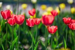 美丽的红色和黄色花郁金香由阳光点燃了 软的选择聚焦 关闭 免版税库存照片