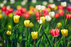 美丽的红色和黄色花郁金香由阳光点燃了 软的选择聚焦 关闭 免版税图库摄影