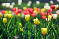 美丽的红色和黄色花郁金香由阳光点燃了 软的选择聚焦 库存照片