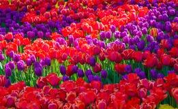 美丽的红色和紫色郁金香领域特写镜头 库存图片