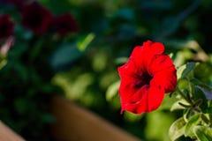 美丽的红色喇叭花花 免版税库存图片