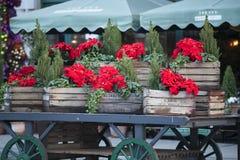 美丽的红色圣诞节花一品红当垂悬在市场上的圣诞节标志在欧洲 库存照片