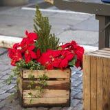 美丽的红色圣诞节花一品红当垂悬在市场上的圣诞节标志在欧洲 免版税库存照片