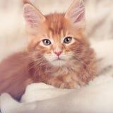 美丽的红色坚实缅因浣熊小猫在温暖的毯子盖了 免版税库存照片