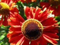 美丽的红色夏天花 库存图片