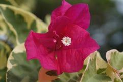 美丽的红色夏威夷海岛花 库存照片