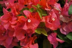 美丽的红色夏威夷海岛花 库存图片