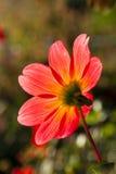 美丽的红色大丽花在庭院里 免版税库存照片