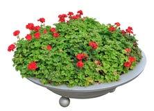 美丽的红色大竺葵开花在一个圆的金属花瓶的绽放在a 库存图片