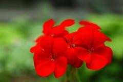 美丽的红色大竺葵花在春天庭院里 免版税图库摄影
