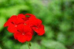 美丽的红色大竺葵花在春天庭院里 免版税库存照片