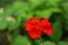 美丽的红色大竺葵花在春天庭院里 库存图片