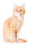 美丽的红色家猫 库存图片
