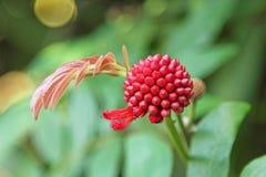 美丽的红色异乎寻常的花 免版税图库摄影