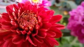 美丽的红色曼萨尼亚,菊花花 库存图片