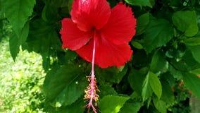 美丽的红色木槿印度花 免版税库存图片
