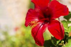 美丽的红色木槿花-特写镜头 库存照片