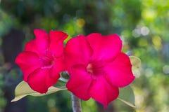 美丽的红色杜娟花花有bokeh背景 免版税库存图片