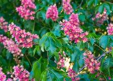 美丽的红色栗树花开花紧密  免版税库存照片