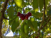 美丽的红色樱桃在法国 免版税库存照片