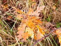 美丽的红色橙黄色秋天死者叶子关闭  图库摄影