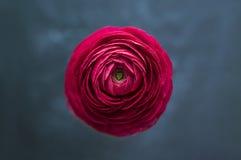 美丽的红色毛茛花特写镜头  库存图片