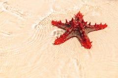 美丽的红色海星在浅海滩水中 免版税库存照片