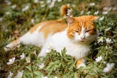 美丽的红色猫在狂放的春天花银莲花属休息 库存照片