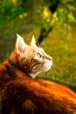 美丽的红色猫 免版税库存照片
