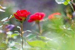 美丽的红色玫瑰在庭院里 免版税图库摄影