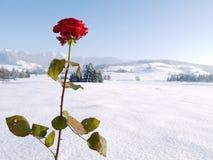 美丽的红色玫瑰多雪的风景 免版税库存图片